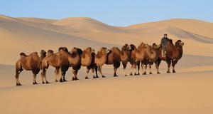 Kameltur i Mongoliet - det är en av alla de specialresor man numera kan designa själv.