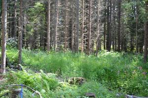 Det var i det här skogsbrynet, ungefär 1,5 kilometer från Åke Höglunds hus på Tynderö, som björnen visade sig.