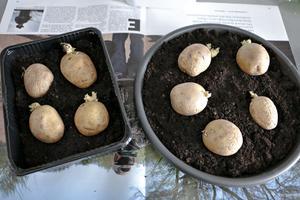 Potatis kan man sätta direkt i landet som de är. Men vill man få ett litet försprång är de även lätta att förodla.