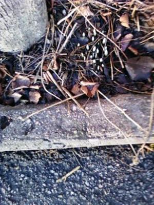 Vårlökarna tittar fram och vi har den 30 december. Var på promenad med min hund och ser dessa vårlökar sticka upp i rabatten.