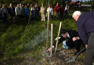 Trädhyllning till Linné. När man planterar en Ornäsbjörk gäller det att gräva, trampa och täcka. Trädgårdsmästare Olle Ridelius planterade trädet för att hylla Linné på hans födelsedag.