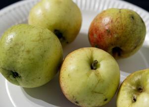 Strömstorp – ett nytt äpple från ett mycket gammalt träd.