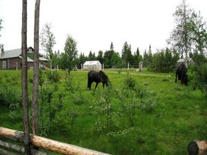 Starka nordsvenskar behövs i arbete på gården.