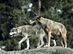 Vartefter vargen sprider sig, minskar antalet betesdjur, skriver elva företrädare för Landsbygdspartiet oberoende.