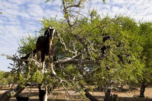 Runt omkring Essaouira klättrar getterna i träden på jakt efter argannötter.