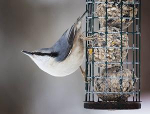 Nötväcka   Nötväckan är en ljudlig fågel som ofta hörs i närheten av våra fågelmatningar, den har ett flertal olika läten som stundtals är väldigt högljudda. Arten är den enda som kan klättra både uppför och nedför trädstammar. Nötväckan är dessutom en utpräglad samlare som i skytteltrafik besöker fågelbordet där den samlar in frön och nötter som den gömmer i skogen.