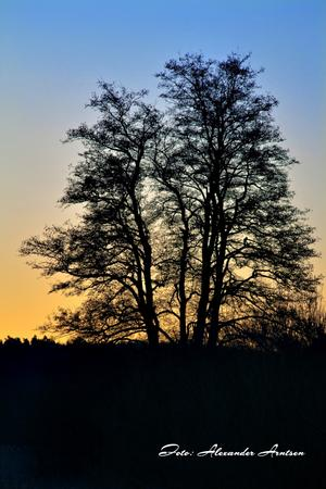 Det här vackra trädet i gryningsljus fotograferade jag i Uppsala på årets sista morgon.  Stolt sträcker det sina grenar upp mot himlen, medan solens första strålar smeker dess grenar.