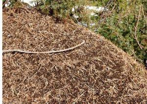 En solig vårdag kan man se klumpar av myror utanpå stacken, där de sitter och värmer sig. Men snart är det liv och fart på arbetsmyrorna.                           Foto: Seved Johansson