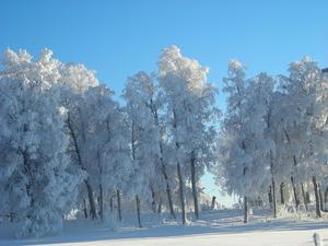 Ett snöigt gäng. Stocketitt, Frösön.1/2 2009, en kall dag då solen tagit sig högt på himlen och lockade träden att sträcka på sig.