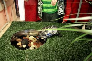 Sköldpaddan Kapten Fjuno har en liten balja att bada i i sitt vinterboende. På sommaren bor han i en stor damm.