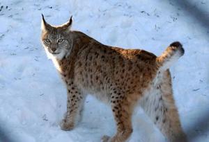 På söndag startar lodjursjakten. Den som jagar med fälla måste varje år registrera den hos länsstyrelsen.