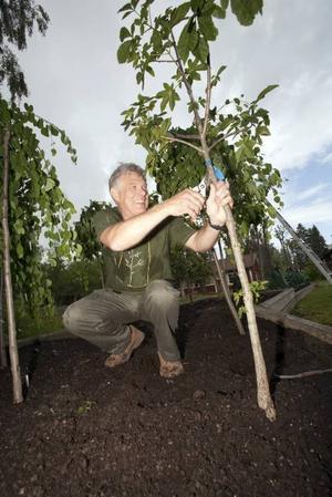 I oktober börjar planteringen av de nya träden, som till skillnad mot tidigare träd i stadskärnan inte bara är av svenskt ursprung. Arboristen Ricky Morelli övervakar odlingen så länge.