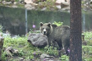 En ung björn i ett av hägnen intill det där olyckan skedde.