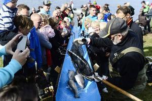Utplanteringen av 150 kilo regnbåge lockade många besökare. Barnen jublade av förtjusning när Olli Karlenkaski lät fisken glida ner för rännan ut i Sidsjön.