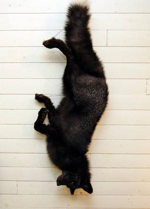 På en vägg hänger en kolsvart räv.