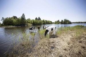 Kor betar på Orarna om sommaren