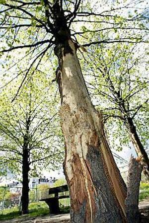 Foto: LEIF JÄDERBERG Trädet dör. Barken är avriven på flera meter av stammen. Troligen är det hundar som förstört träden. Enligt en anmälan har två pittbull terrier hetsats att ge sig på träden.