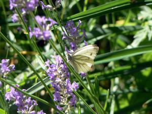Fjäril söker vatten i den varma solen~