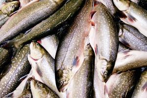 Hur smittan etablerats hos fiskar i vilda bestånd, i samma vattenområden som kassodlad fisk, är oklart enligt rapporten.