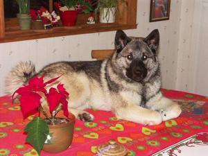 """""""Jag är typisk hundmänniska som kopplar hunden till jakt. Jag håller på med älghundar och det är tveksamt om jag överhuvudtaget skulle jaga utan hundar. Den kille som är avbildad heter Atlas och är vid det här laget 5 år. När bilden togs var han bara 1 år. Han är en alert, smart och mycket trevlig hund som därtill fungerar alldeles utmärkt som älghund. Det bästa man har sätter man på bordet.""""Foto: Sven-Erik Edholm, Hammarstrand."""