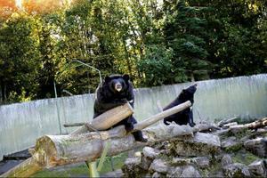 Nej, kragbjörnarna på Frösö zoo var inte för tjocka. En upprörd besökare i           somras anmälde djurparken för att de inte tog hand om björnarnas diet. Djurskyddet bedömde dock att björnarnas hälsa var helt okej. Foto: Henrik Flygare