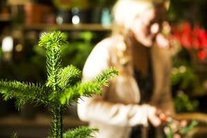 Rumsgranen, en liten mjukare slags gran än den vi är vana vid från skogen, är väldigt populär i år.