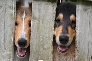 Tittut! Mina collies Yoda och Hailey kikar genom staketet.