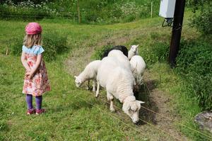 Även får fanns i hagarna att titta på.