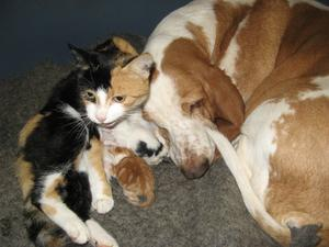 Våran basset Anita älskar katten Mio (och alla andra kattor) och det är verkligen besvarat.Så när Mio nyligen skulle få ungar, så lade hon sig där hon kände sig som mest  trygg - hos Anita !Det finns flera tolkningar av uttrycket