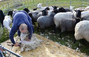 Det är lugnt i hagen bland alla fåren när klippningen genomförs.