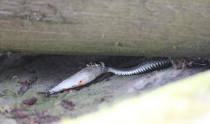 Den som gapar över mycket...Bilden är tagen under vår brygga på Ängsö. Det hela slutade med att snoken lämnade bytet och ringlade iväg och lämnade fisken till insekterna.