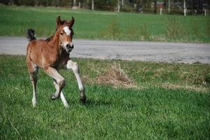 Don Mirage är den första svenskfödda freibergerhästen.