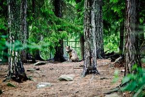 En varg i ett av hägnen på Kolmårdens djurpark på söndagskvällen. (Det är oklart om denna varg ingick i gruppen som var inblandad i attacken).