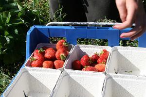Klarröda. De eftertraktade jordgubbarna från Ulvsta är ekologiska och är lämpliga för bland annat jordgubbssaft.