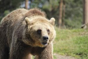 Björnen, ett omstritt rovdjur.