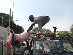 50 kilo ris: En säck med femtio kilo ris lastas av vid skolan medan geten ligger lugnt kvar på biltaket.
