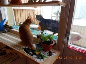 En främmande katt gjorde oväntat besök på balkongen-lagom till Alla Hjärtans dag ! De var så söta-tittade bara på varandra !