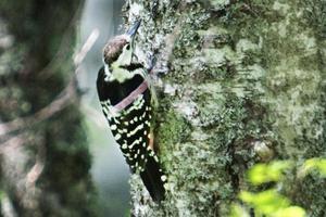 Den vitryggiga hackspetten och runt 200 andra hotade arter behöver gammal lövskog för att klara sig.Den vitryggiga hackspetten och runt 200 andra hotade arter behöver gammal lövskog för att klara sig.