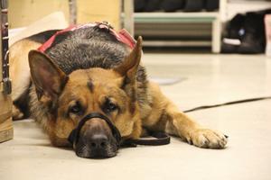Schäfern Citrine drar inga kedjor. Hon är en servicehund och när selen är på betyder det arbete.
