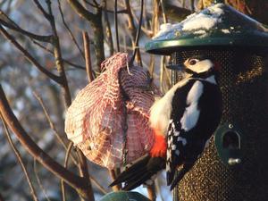 Från 1 december till 31 mars pågår det räkning hos SNF av antalet arter kring fågelbordet. Detta ska vara på den egna tomten inom Hallstahammars kommun. Här är det en Större hackspett som har landat på fettet från Julskinkan. I år matar vi inte med viltfågelfröblandning, eftersom det lockar hit tamduva, som kan bära på Newcastlevirus. Det vill vi inte få på våra Hedemorahöns!