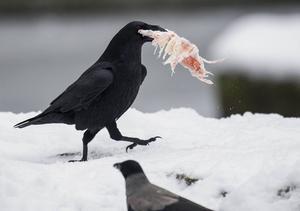 Kråkfåglar äter stora mängder kött om chansen ges. På bilden en korp som kommit över ett stycke fruset kött på Berlins zoo. En kråka tittar på. Foto: Lukas Schulze/AP/TT
