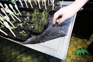 Risken för att plantorna dör torkdöden minskar på en bevattningsbricka säger Håkan Bertilsson.