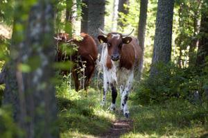 Korna betar fritt på somrarna. Intaget av örter och gräs i kombination med rörelse gör att korna sannolikt mår bättre än kor som tvingas stå i bås och äta kraftfoder.