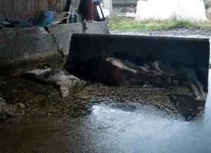 Vid en rutinkontroll hittade kontrollanterna fyra döda kalvar vid gödselstacken.