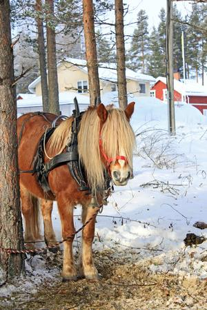 Tone Erikssons kallblodstravare Ludde väntar på avfärden.