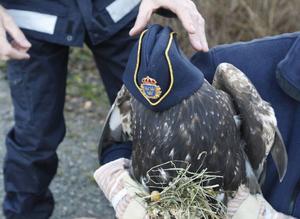 För att örnen skulle känna sig lugnare så fick den låna polisen Andrew Sörenssons mössa.