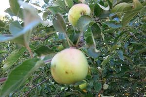 Nu mognar äpplena på trädet - och de är många.