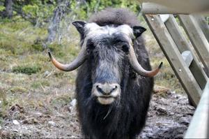 En av myskoxarna - en tjur på fyra år - visade sig för LT. Han äter 4 kg pellets om dagen förutom betet. Den 20 dagar gamla kalven var någonstans i buskarna i det 4-5 ha stora hägnet med sin mamma.
