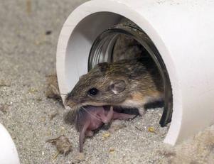 Mössen fryser och letar sig in i länets bostäder. Ett tips från Anticimex är att inte mata fåglarna så nära huset.