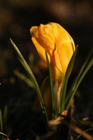 Ett säkert vårtecken är vårens blomster, och denna alldeles bedårande vackra krokus fann jag i min trädgård häromdagen!